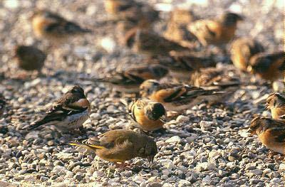 oiseau voisin du chardonneret