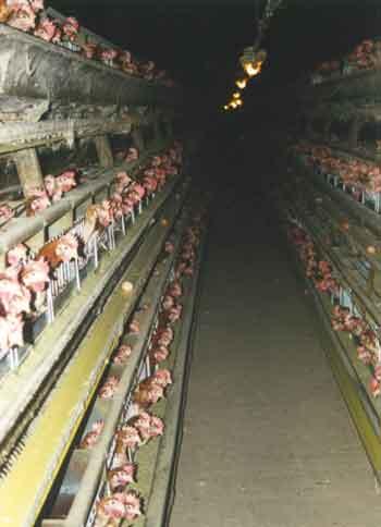 La fin annoncée de l'élevage de poules en batterie de cages en Europe