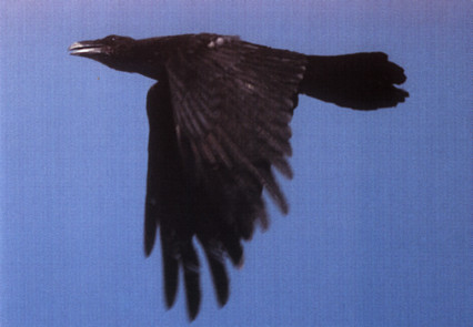 http://www.oiseau-libre.net/Photos/CAV/GrandCorbeau_CAV.jpg