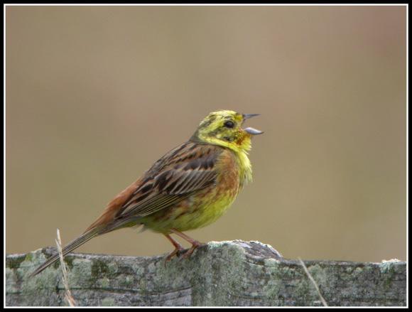 Bruant jaune for Oiseau ventre jaune