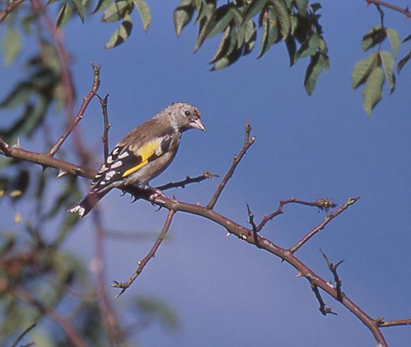 Chardonneret l gant for Oiseau jaune france