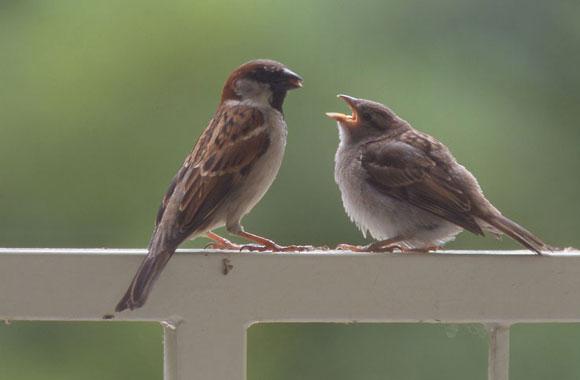 La langue des oiseaux MoineauDomMaleJuv_GB