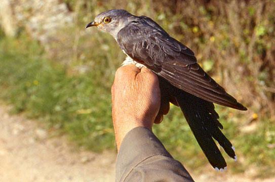 de l oiseau libre album du paléarctique coucou gris coucou gris ~ Le Coucou Des Bois Oiseau