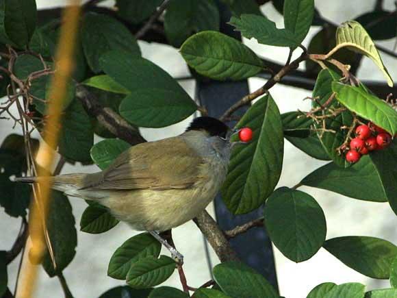 Chants d 39 oiseaux - Chant fauvette des jardins ...