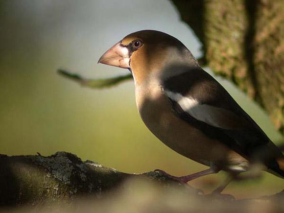 Gros bec casse noyaux for Oiseaux du sud de la france