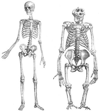 скелеты человека и
