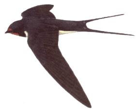 http://www.oiseau-libre.net/Ressources/DessinsOiseaux/HirondelRustDessin.png