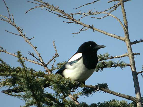 http://www.oiseau-libre.net/album/Photos/Oiseaux/Jardins/Pies/Bavarde/PieBavardeDSCN4092.jpg