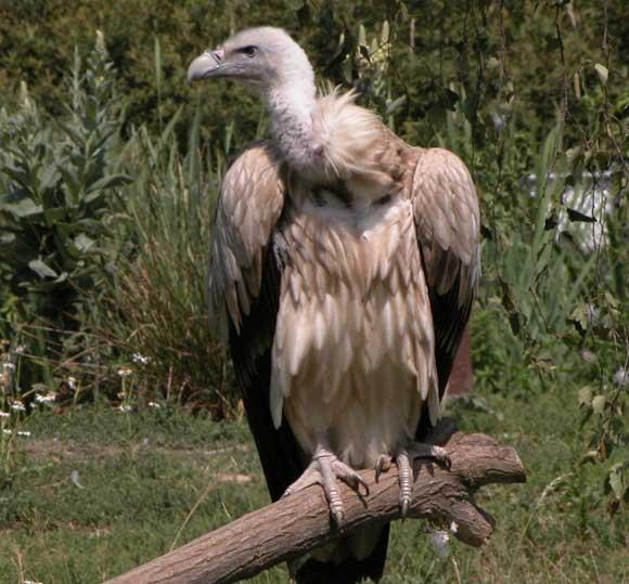 Les éleveur contre les vautours VautourHimalayaDSCN2131